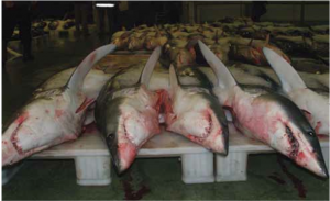 An example of the cruel practice of shark finning.