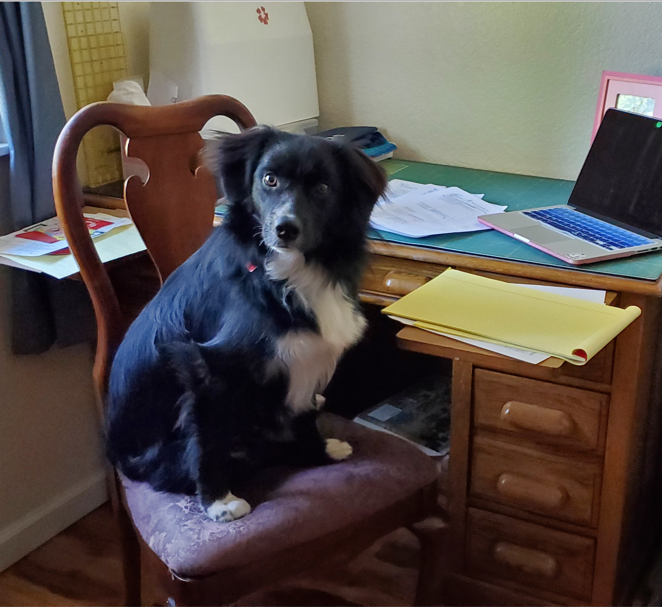 A border collie, sitting in a desk chair like he's going to be doing office work