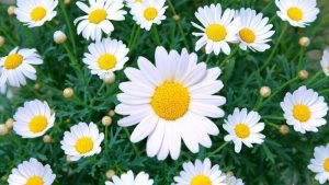 meaning-behind-daisy-flowers_a4fc2a05779a6a6b