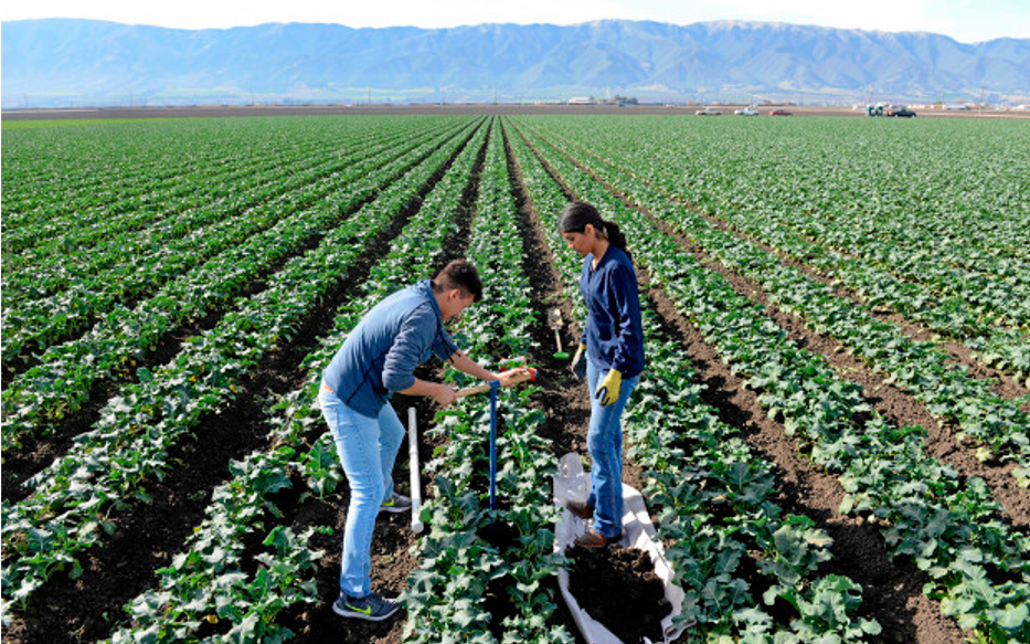 Text Box: Gonzales High School students Pablo Mendoza, 16, Elizabeth Aireola, 15, work in a broccoli field at Pisoni Farms. (Vern Fisher - Monterey Herald)