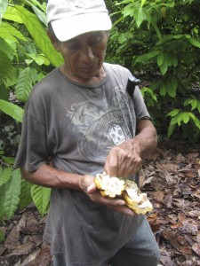 Farmer illustrating the difference between a healthy and damaged pod