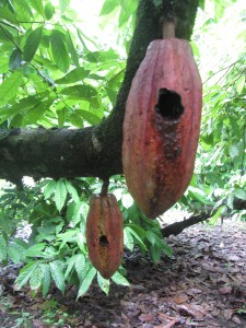Cacao pods damaged by birds