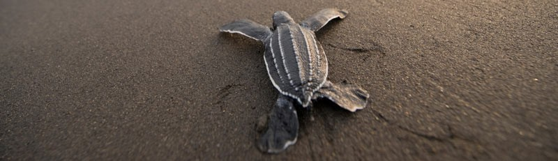 How to Protect Leatherbacks